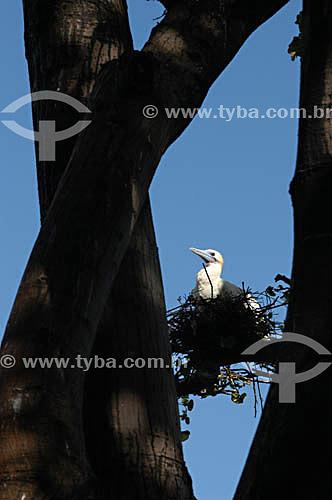 (Sula dactylatra) Mumbebo-Branco ou Atobá-Branco - ave marinha - segunda espécie de ave marinha mais comum no arquipélago de Fernando de Noronha - PE - Brasil  O arquipélago Fernando de Noronha é Patrimônio Mundial pela UNESCO desde 16-12-2001.  - Fernando de Noronha - Pernambuco - Brasil