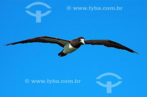 Atobá voando - Cabo Frio - RJ - Brasil  - Cabo Frio - Rio de Janeiro - Brasil