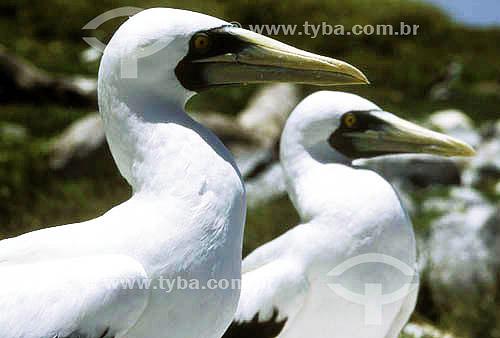 Dois Atobás - PARNA de Abrolhos - litoral sul da Bahia - Brasil  foto digital  - Caravelas - Bahia - Brasil