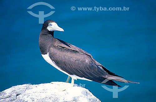 Atobá Marrom (Sula leocogaster) - Parque Nacional Marinho de Abrolhos - BA - Brasil  - Caravelas - Bahia - Brasil