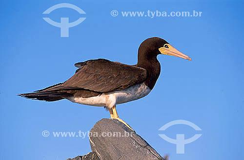 Atobá Marrom (Sula leucogaster) - Parque Nacional Marinho de Abrolhos - Bahia - Brasil  - Caravelas - Bahia - Brasil