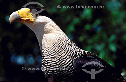 (Polyborus plancus) - Gavião Carcará - Areia Branca - Sergipe - Brasil  - Areia Branca - Sergipe - Brasil