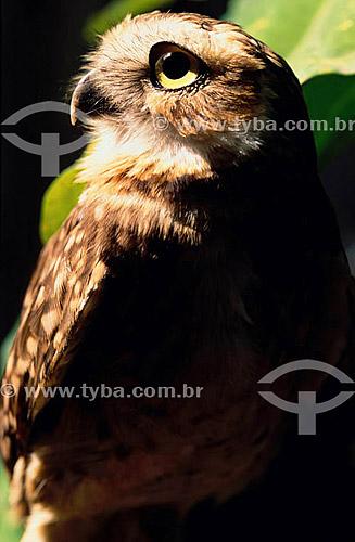 (Speotyto cunicularia) - Coruja Buraqueira - Areia Branca - Sergipe - Brasil  - Areia Branca - Sergipe - Brasil