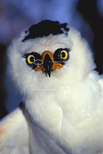 (Spizastur melanoleucus) Gavião-pato ou Apacanim-branco - ave de rapina das florestas tropicais da América do Sul e América Central - Brasil