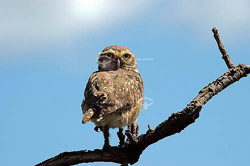 (Speotyto cunicularia) Coruja Buraqueira - Parque Nacional das Emas - Goiás - Brasil  - Goiás - Brasil