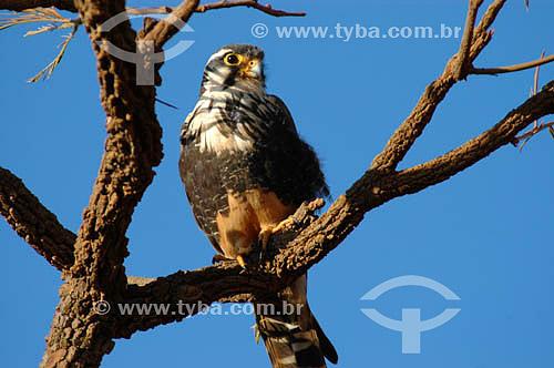 (Falco femoralis) Falcão-de-Coleira - Parque Nacional das Emas - GO - Brasil   O Parque é Patrimônio Mundial pela UNESCO desde 16-12-2001  - Goiás - Brasil