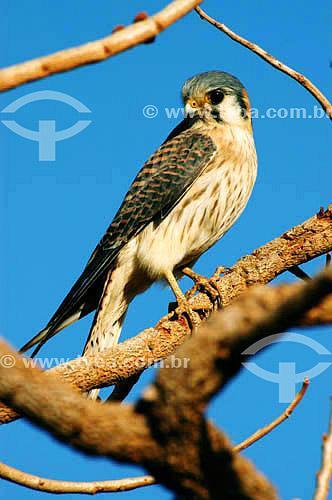 (Falco sparverius) Falcão Quiri-Quiri no Parque Nacional das Emas - Goiás - Brasil   O Parque é Patrimônio Mundial pela UNESCO desde 16-12-2001  - Goiás - Brasil