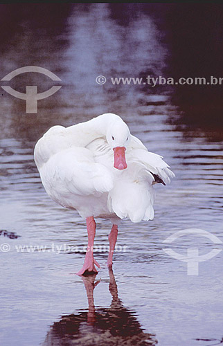 (Coscoroba coscoroba) Coscoroba - cisne - sul do Brasil