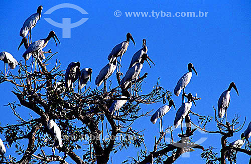 (Mycteria americana) Cabeça-seca, Jabiru ou Passarão - PARNA Pantanal Matogrossense - MT - Brasil  A área é Patrimônio Mundial pela UNESCO desde 2000.  - Mato Grosso - Brasil