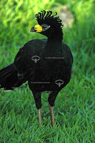 Mutum-de-penacho macho - Parque Nacional das Emas - GO - Brasil  O Parque é Patrimônio Mundial pela UNESCO desde 16-12-2001 / Data: 2005