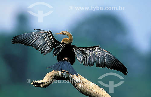 Biguatinga (Anhinga anhinga) na Reserva de Desenvolvimento Sustentável Mamirauá - Amazonas - Brazil  - Tefé - Amazonas - Brasil