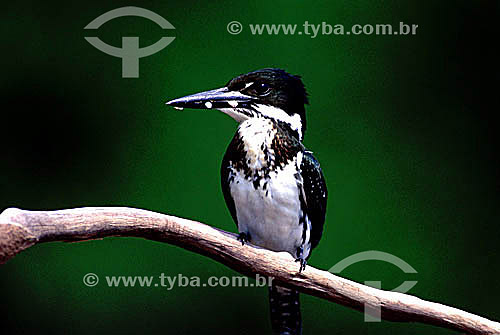 (Chloroceryle amazona) Martim-pescador-verde ou Aribamba-verde - Reserva Ambiental de Mamirauá - AM - Brasil  - Tefé - Amazonas - Brasil