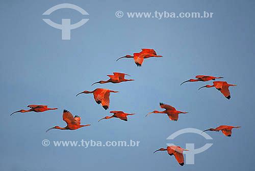 Guarás voando (Eudocimus ruber) Pará - Brasil  - Pará - Brasil
