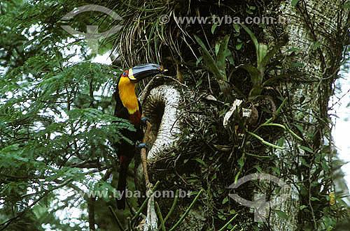 (Ramphastos vitellinus ariel) Tucano-de-Bico-Preto - Mata Atlântica - Rio de Janeiro - Brasil  - Rio de Janeiro - Rio de Janeiro - Brasil