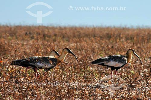 (Theristicus caudatus) Curicacas - Parque Nacional das Emas - Goiás - Brasil   O Parque é Patrimônio Mundial pela UNESCO desde 16-12-200  - Goiás - Brasil