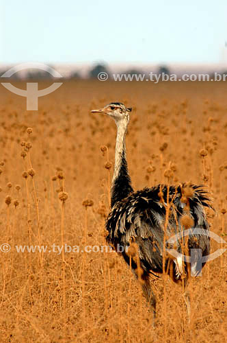 (Rhea americana) Ema - Parque Nacional das Emas - Goiás - Brasil   O Parque é Patrimônio Mundial pela UNESCO desde 16-12-200  - Goiás - Brasil