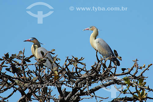(Syrigma sibilatrix) Maria-faceira - Parque Nacional das Emas - GO - Brasil   O Parque é Patrimônio Mundial pela UNESCO desde 16-12-2001  - Goiás - Brasil