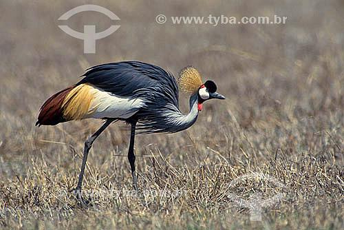Grou Coroado (Balearica regulorum) - África