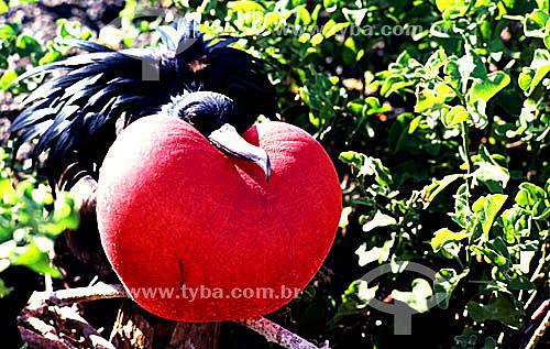 (Fregata magnificens) - Fragata Macho - com papo inflado para atrair sexualmente a fêmea - Arquipélago de Abrolhos - Costa das Baleias - litoral sul da Bahia - Brasil  O Parque Nacional Marinho de Abrolhos foi criado em 6 de abril de 1983.  - Caravelas - Bahia - Brasil