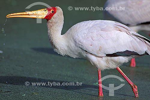 Cegonha de Bico Amarelo (Mycteria ibis) - África
