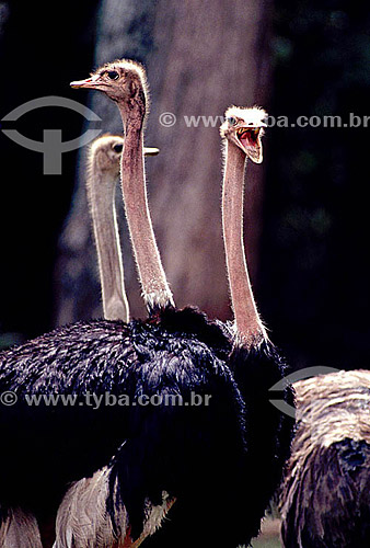 (Struthio camelus) grupo de Avestruzes - Brasil
