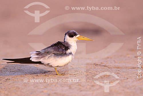(Phaetusa simplex) Trinta Réis Grande - Reserva de Desenvolvimento Sustentável Mamirauá - Brasil