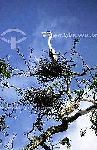 (Ardea cocoi) Garças maguari nos ninhos - região do rio Pedreira - município de Macapá - AP - Brasil(fevereiro de 2001)  - Macapá - Amapá - Brasil