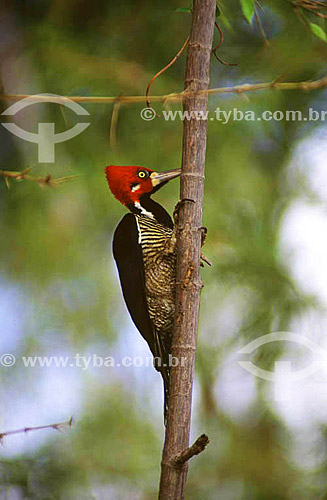 (Campephilus melanoleucos) Pica pau de topete vermelho - AP - Brasil  - Amapá - Brasil