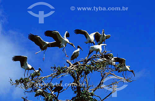 (Mycteria americana) Cabeça-Seca, Jabiru ou Passarão - Ilha do Marajó - PA - Brasil  - Pará - Brasil