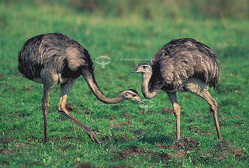 (Rhea americana) - Emas procurando comida -  Pantanal Mato Grossense - MT - Brasil  A área é Patrimônio Mundial pela UNESCO desde 2000.  - Mato Grosso - Brasil