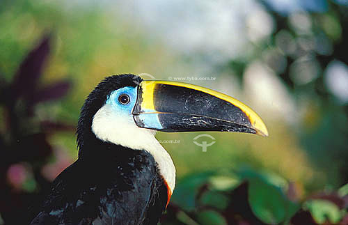 (Ramphastos tucanus) Tucano-grande-de-papo-branco - Amazônia - Brasil