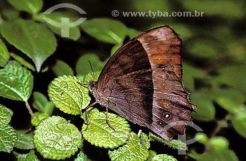 (Taygetis laches) - borboleta