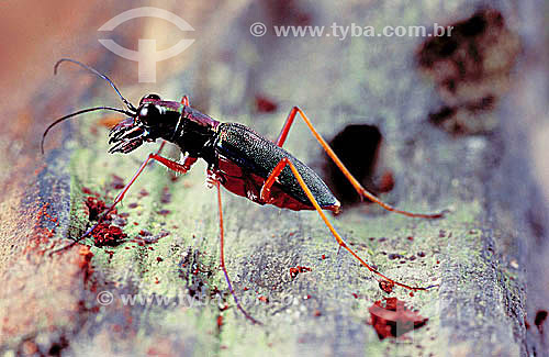 (Cicindelidae) Besouro - Brasil