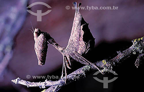 (Mantodea) Louva-a-deus - Amazônia - Brasil
