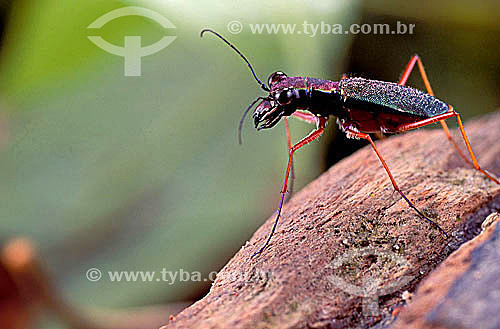 (Cicindelidae) Besouro - Amazônia - Brasil