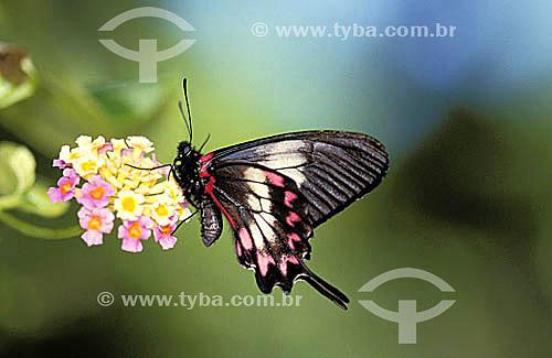 (Harris` Mimic Swallowtail) - borboleta em extinção