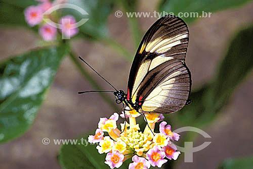 (Heliconius nattereri) - borboleta