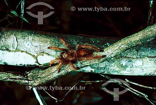 (Theraphosa Blondi) - Aranha Caranguejeira - Brasil