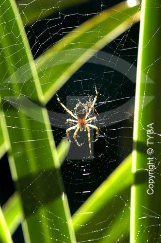 Detalhe de aranha na teia, entre folhas  foto digital  - Rio de Janeiro - Brasil