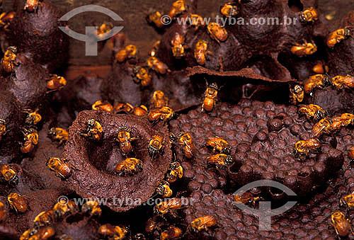 Abelha Jandaíra (Melipona crinita) -  Reserva de Desenvolvimento sustentável Mamirauá - Amazonas  - Tefé - Amazonas - Brasil