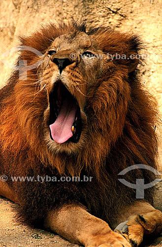 (Panthera leo) Leão