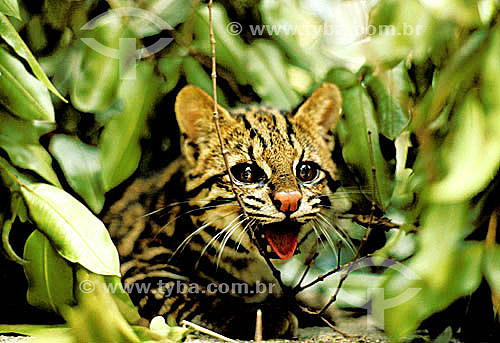 (Leopardus tigrinus) (Leopardus wiedii) Gato Maracajá