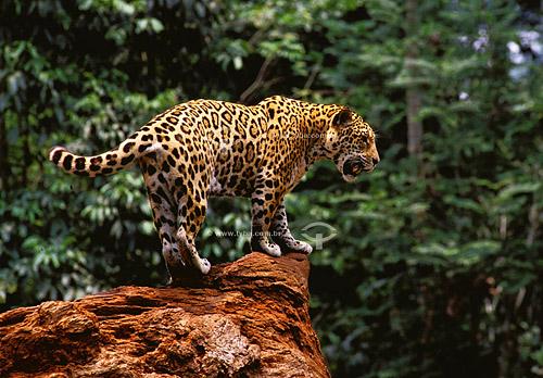 (Panthera onca) Onça-pintada - Serra dos Carajás - PA - Brasil  - Parauapebas - Pará - Brasil