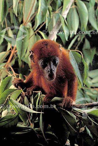 (Alouatta sp) Macaco Bugio - Mata Atlântica - Brazil