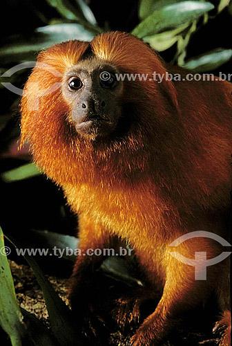 (Leontopithecus rosalia) Mico-Leão-Dourado - Mata Atlântica - Brasil