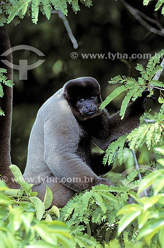 (Lagothrix lagotricha) Macaco Barrigudo - Amazônia - Brasil