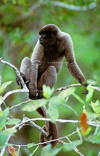 (Lagothrix lagotricha) - Macaco Barrigudo - Amazônia - Brasil