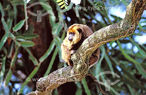 (Alouatta caraya) Macaco Bugio Fêmea - PARNA do Pantanal Matogrossense - MT - Brasil  A área é Patrimônio Mundial pela UNESCO desde 2000.  - Mato Grosso - Brasil