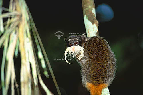 (Saguinus imperator) Sagui-imperador ou Sagui-de-Bigode - Parque Nacional Manu - Amazônia - Zona Cultural - Departamento de Cuzco - Peru