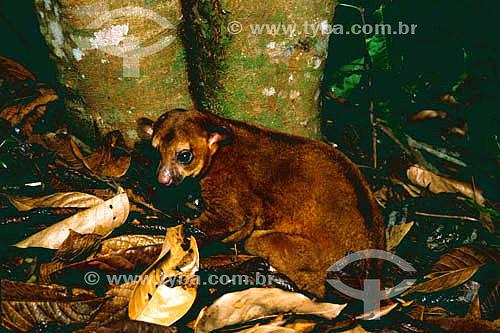 (Potos flavus) Jupará ou Macaco-da-noite - Floresta Amazônica - Serra dos Carajás - PA - Brasil  - Parauapebas - Pará - Brasil